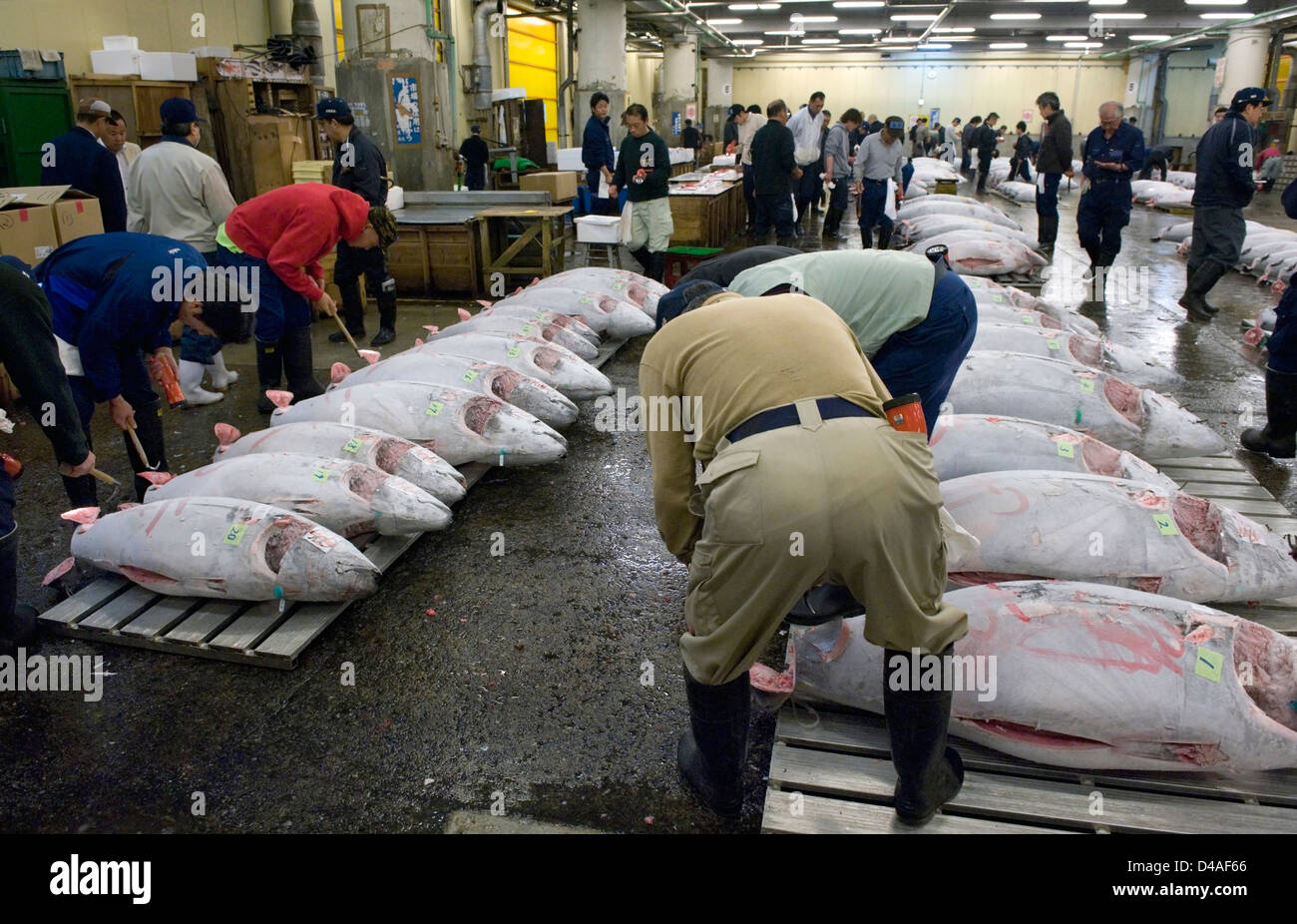 Prior to auction prospective buyers inspect frozen tuna at Tsukiji Wholesale Fish Market, world's largest fish - Stock Image