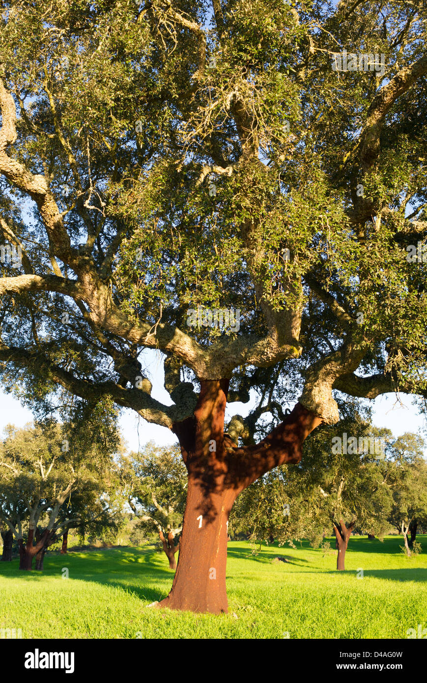 Cork oaks in Portugal Quercus suber - Stock Image