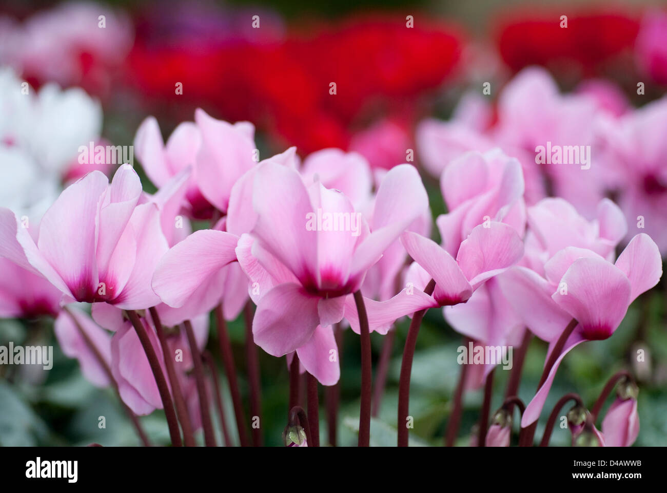 Persian violet, Cyclamen persicum, Primulaceae, - Stock Image