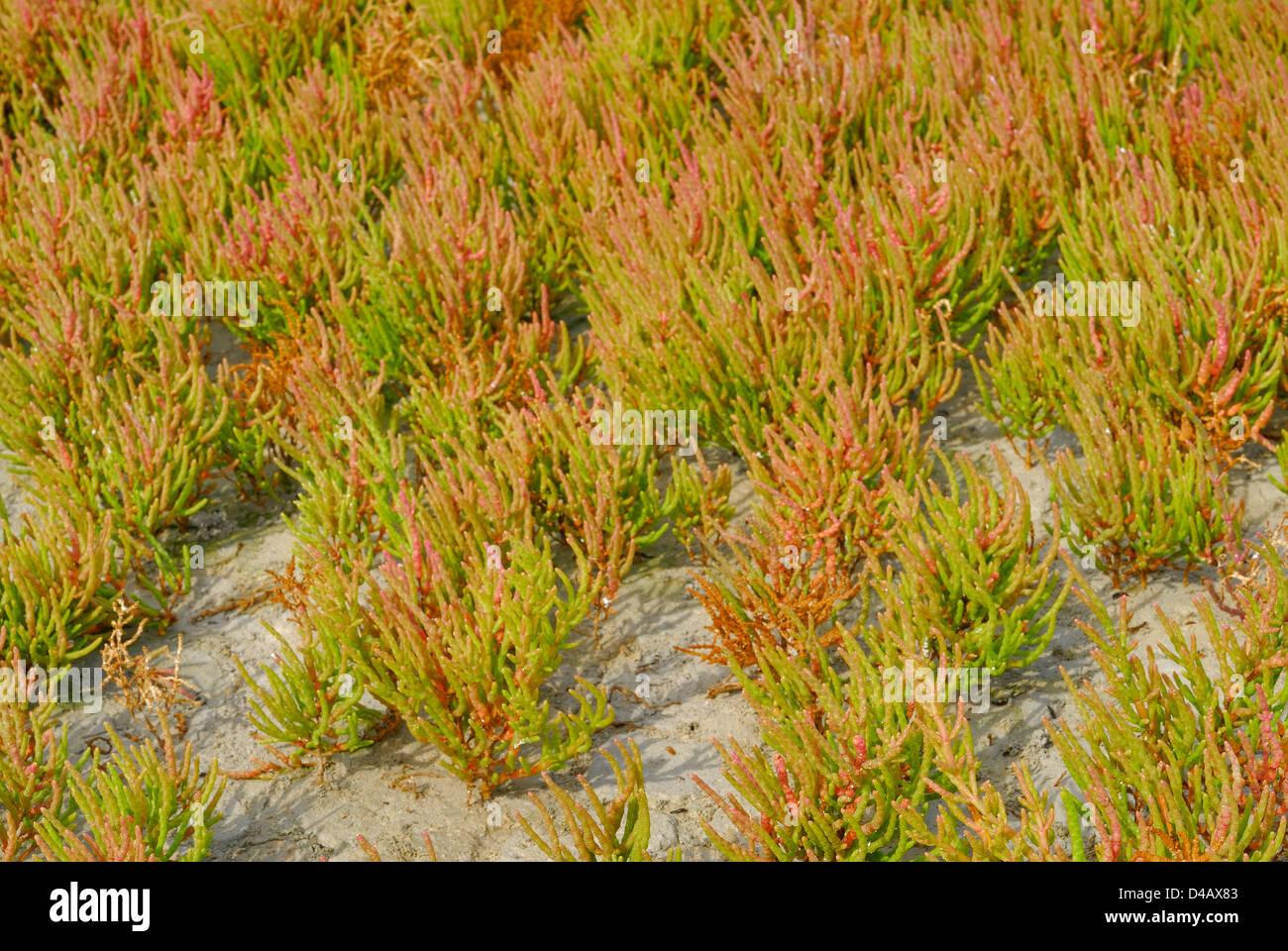 Perennial saltwort, Salicornia fruticosa, Chenopodiaceae, Putzu Idu pond, Sinis, Sardinia, Italy - Stock Image