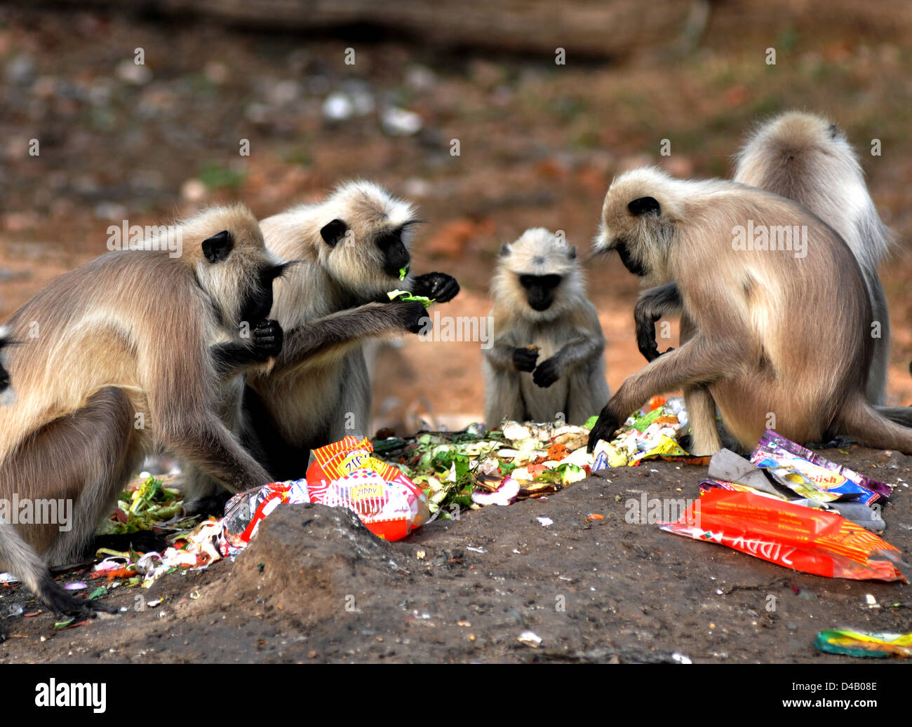 Tufted gray langur (Semnopithecus priam) is an Old World monkey, one of species of langurs, eat leftover by the - Stock Image