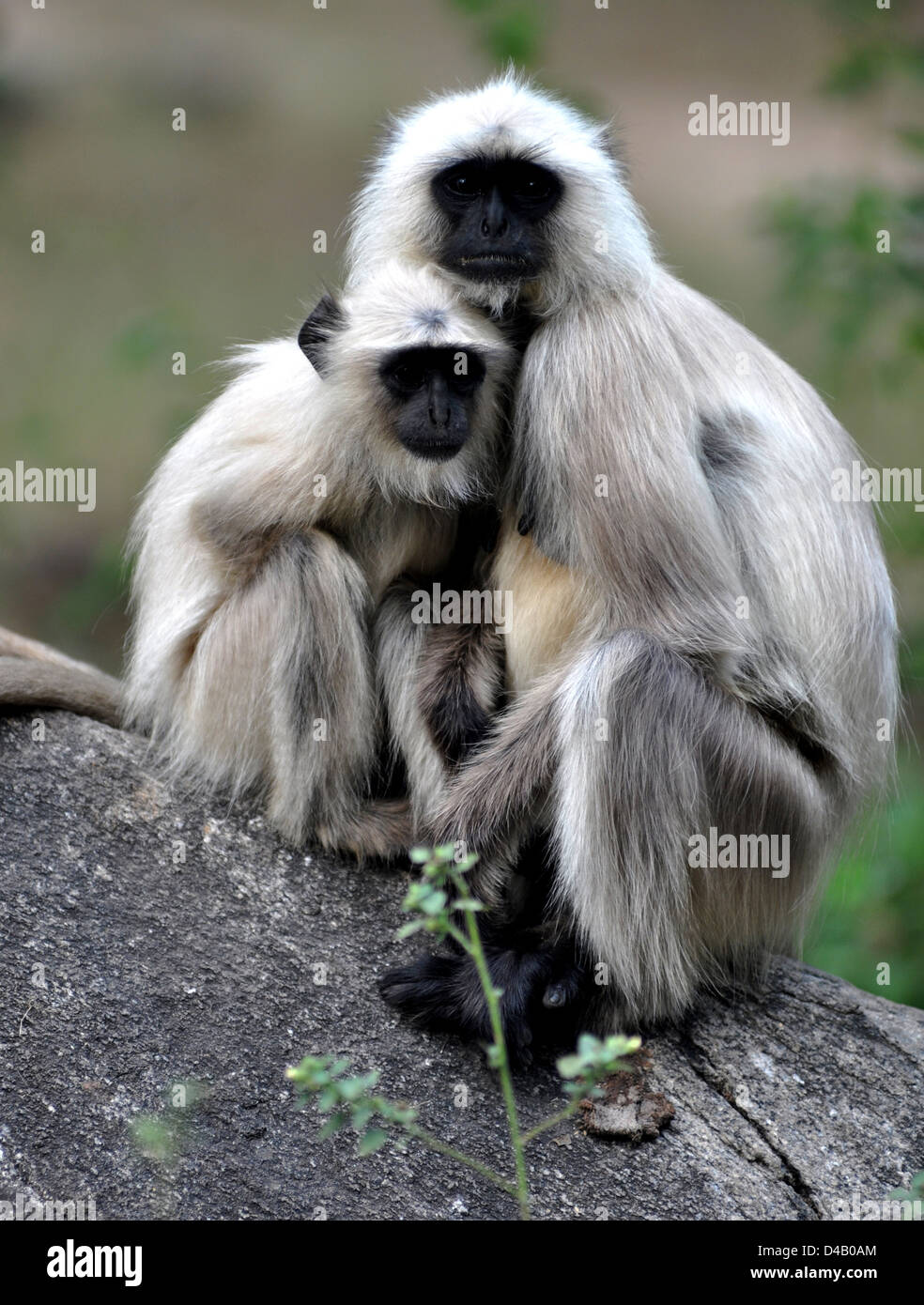Tufted gray langur (Semnopithecus priam) is an Old World monkey, one of species of langurs, - Stock Image
