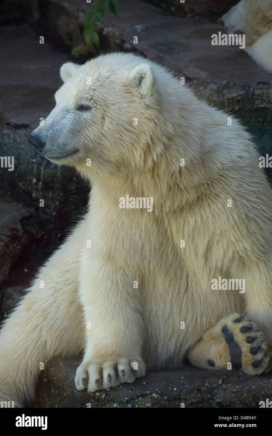 Young polar bear sitting on a rock, zoo Schönbrunn, Vienna, Austria Stock Photo
