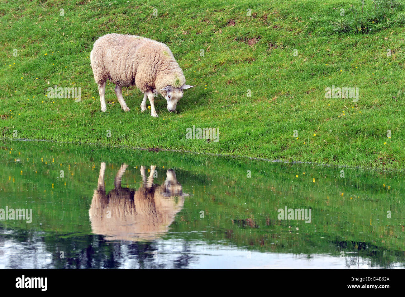 Sheep grazing by a stream, reflected in the water - Stock Image