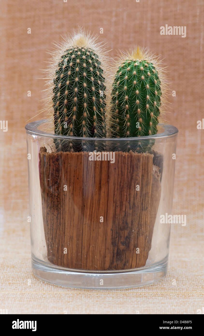 Baby saguaro cactus in a decorative pot. - Stock Image