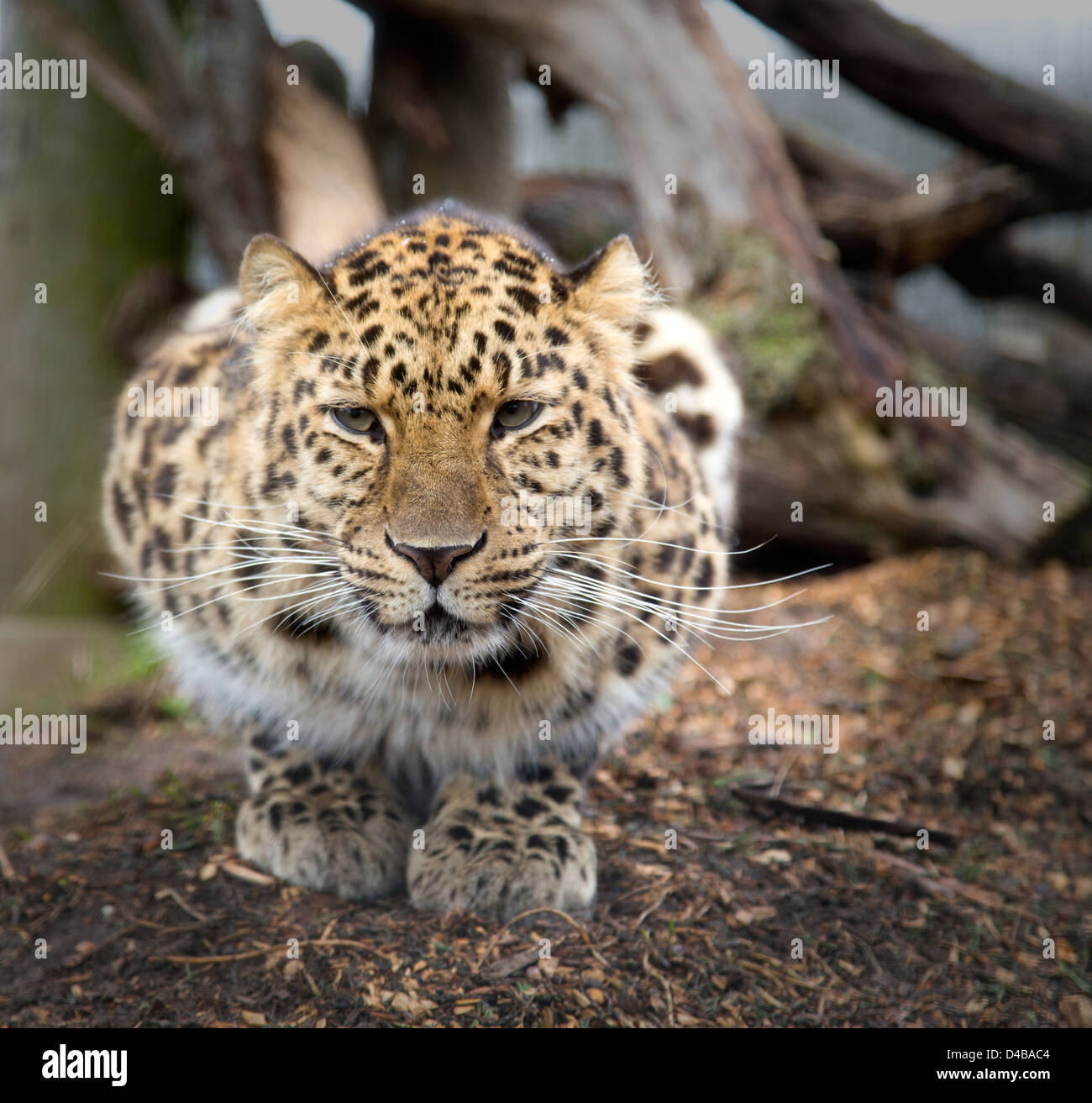 Amur leopard on its haunches looking straight ahead - Stock Image