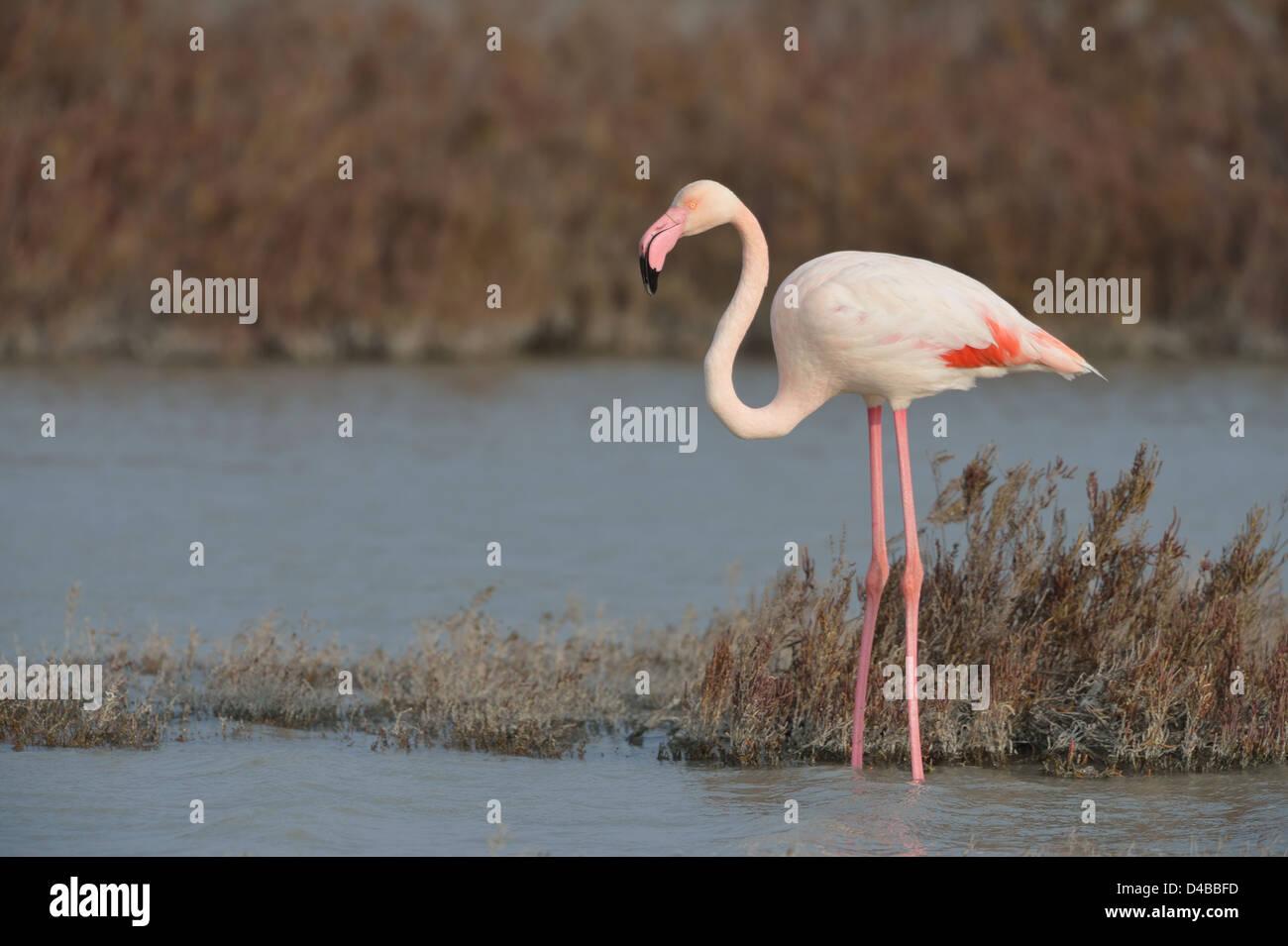 Greater Flamingo (Phoenicopterus roseus - Phoenicopterus ruber roseus) standing in shallow water in winter - Stock Image