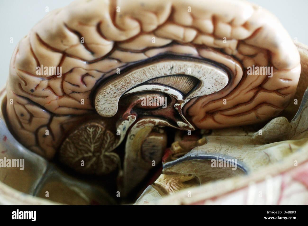 Brain Model Top View Stock Photos & Brain Model Top View Stock ...
