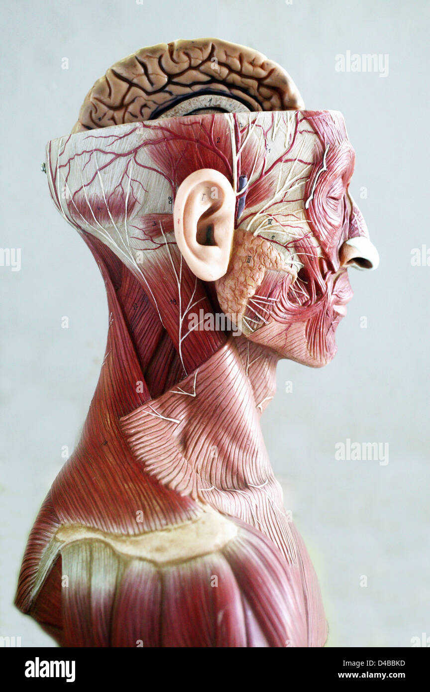Anatomical Models Commonly Used In Teaching Doctors As They Much
