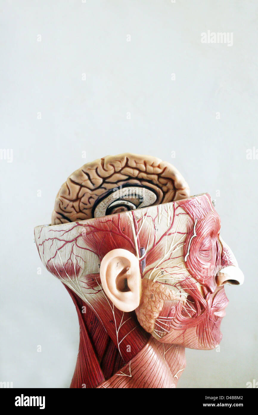Anatomical models commonly used in teaching doctors as they much ...