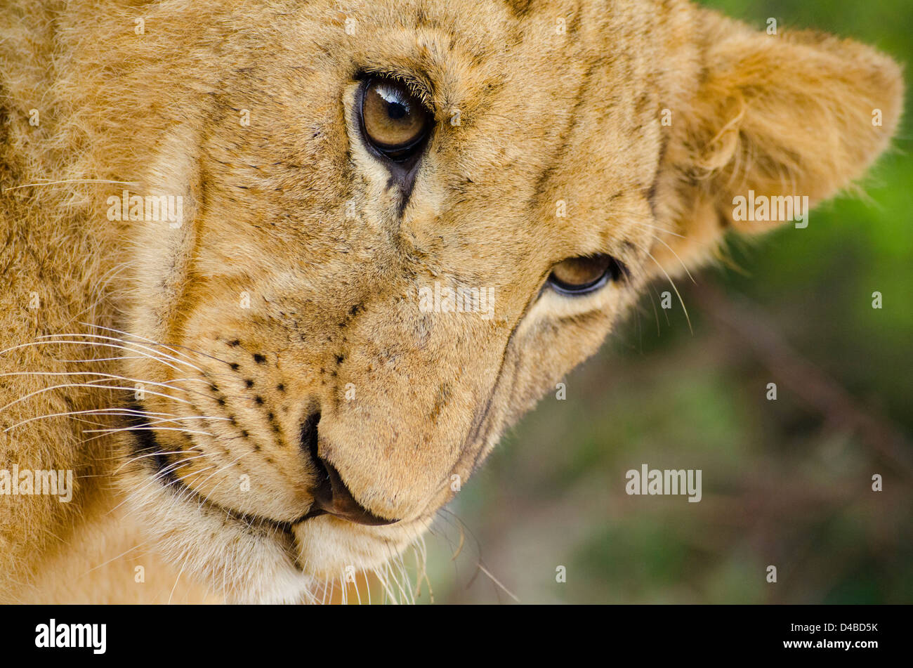 Young Lion photographed in Johannesburg, South Africa - Stock Image