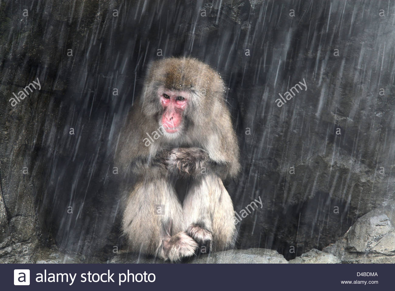 A female Snow Monkey shelters from a snowstorm - Stock Image