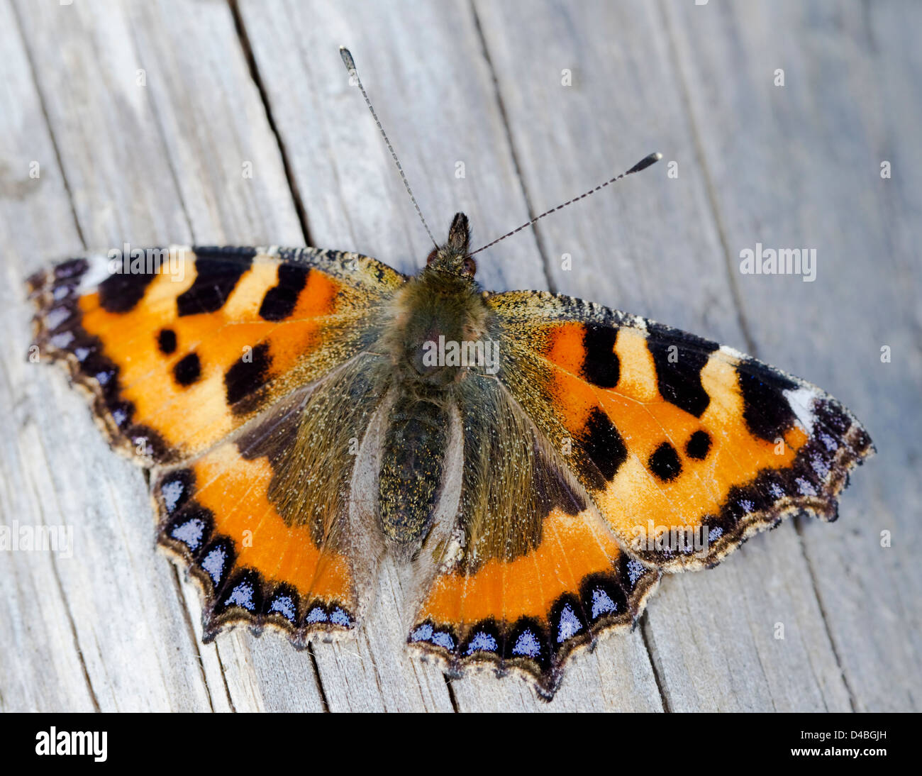 Aglais urticae,Small Tortoiseshell, butterfly with wings open resting on a tree trunk,top view - Stock Image