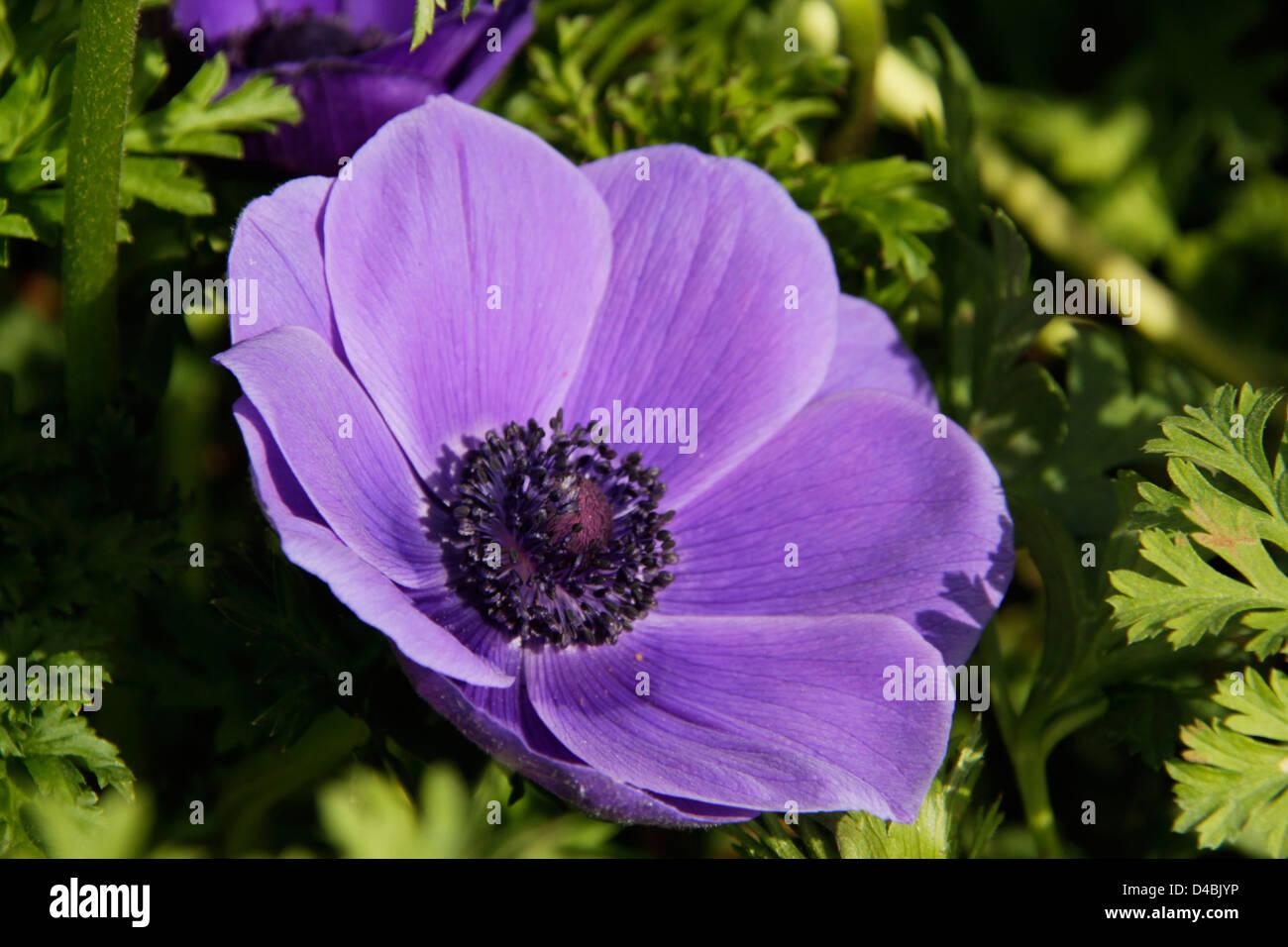 Uncultivated Blue Poppy Flower On Sunlight Spring Field Stock Photo