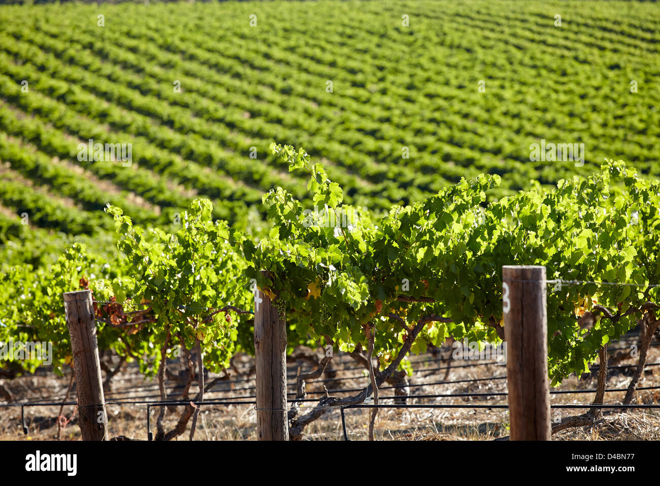 VInes growing in the Barossa Valley wine region of South Australia Stock Photo