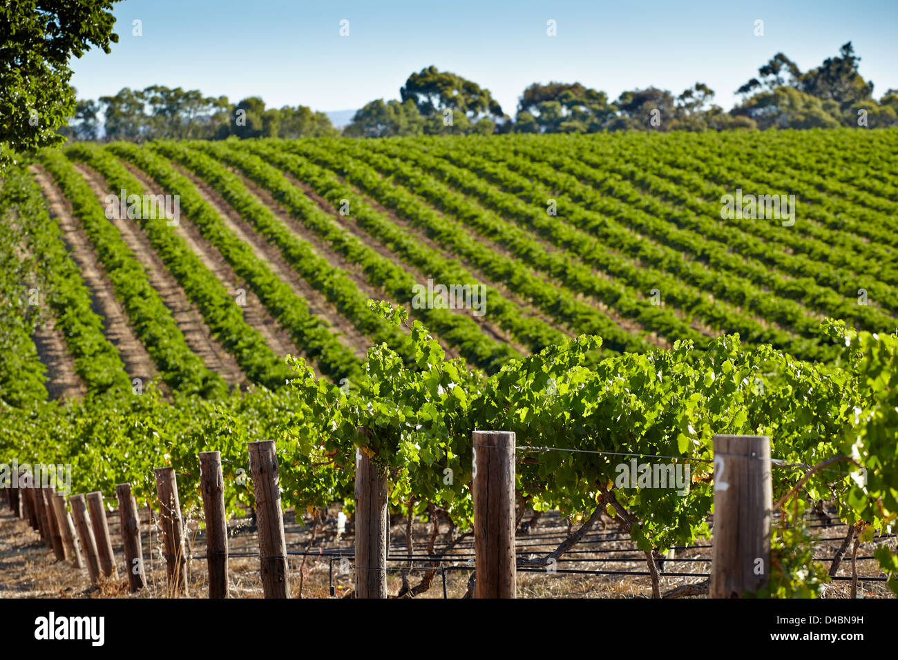 VInes growing in the Barossa Valley wine region of South Australia - Stock Image
