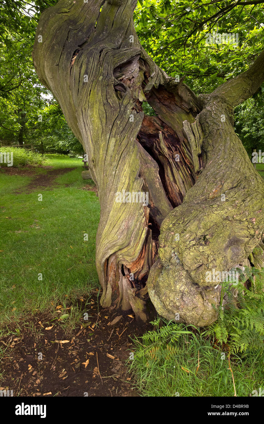Twisted bare spiral trunk of an old Sweet Chestnut Tree (Castanea sativa), Bradgate Park, Leicestershire, England, Stock Photo