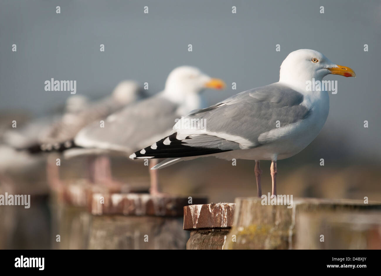 Row of Herring Gulls on Posts - Stock Image