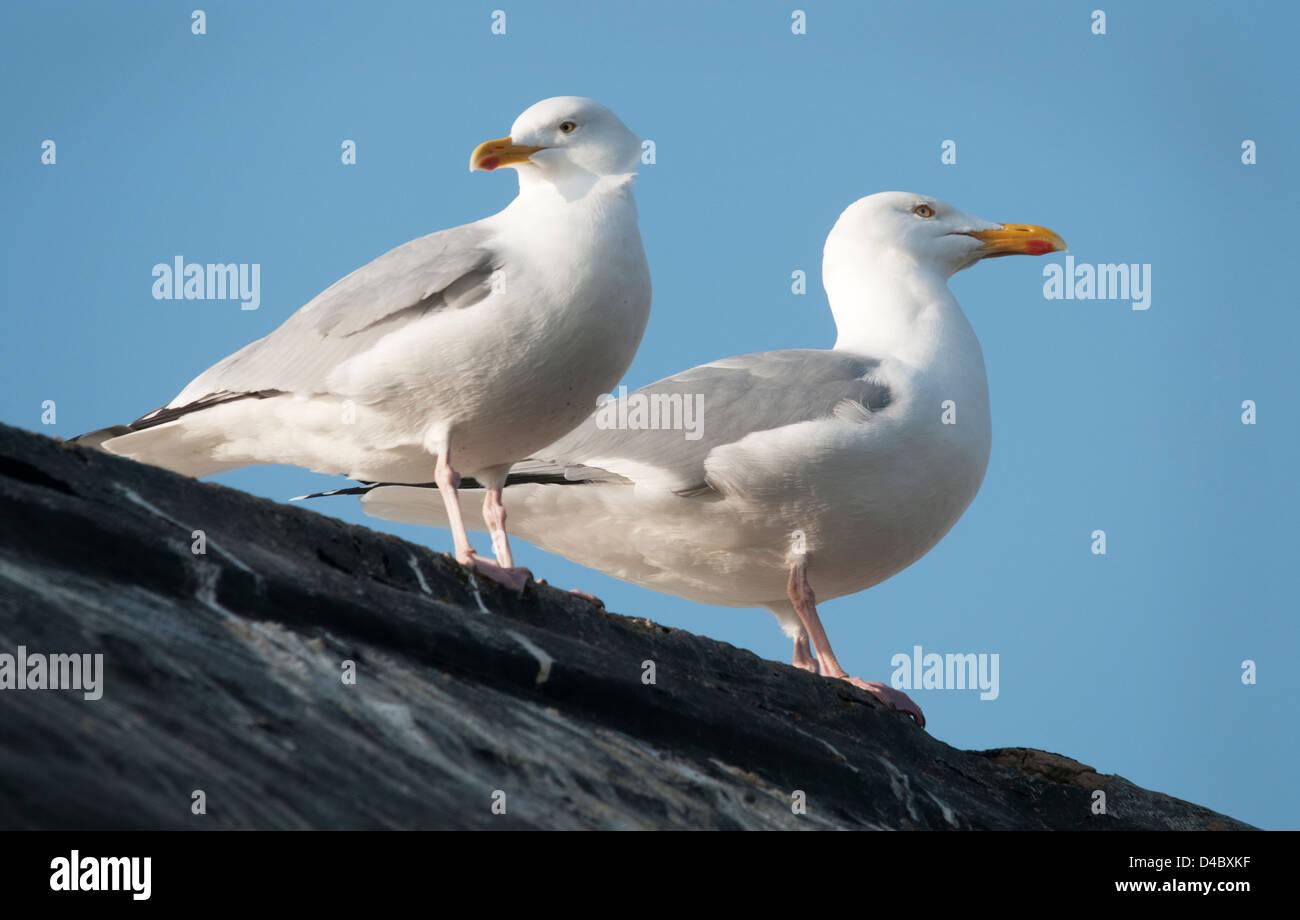 Herring Gulls on Roof - Stock Image