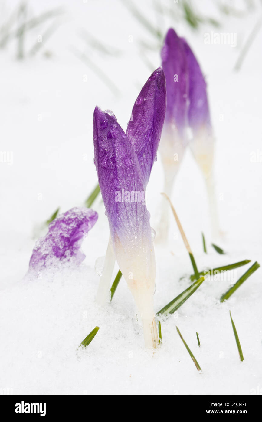 Blue Crocuses in snow Stock Photo
