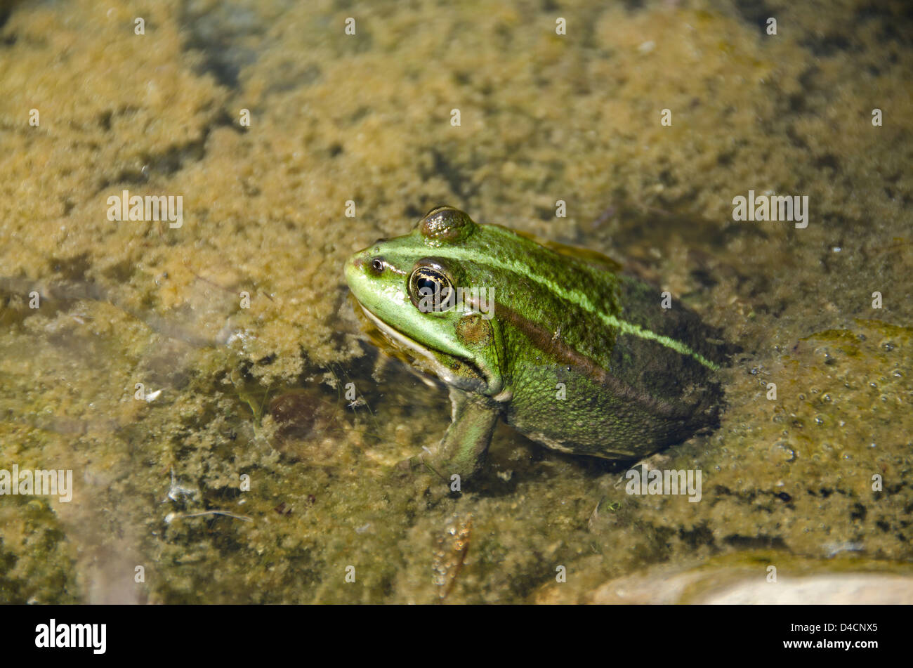 Green frog in pond - Stock Image