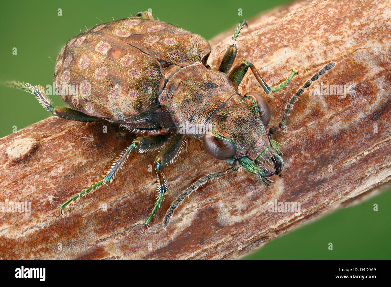 Ground beetle Elaphrus riparius on a twig, extreme close-up - Stock Image