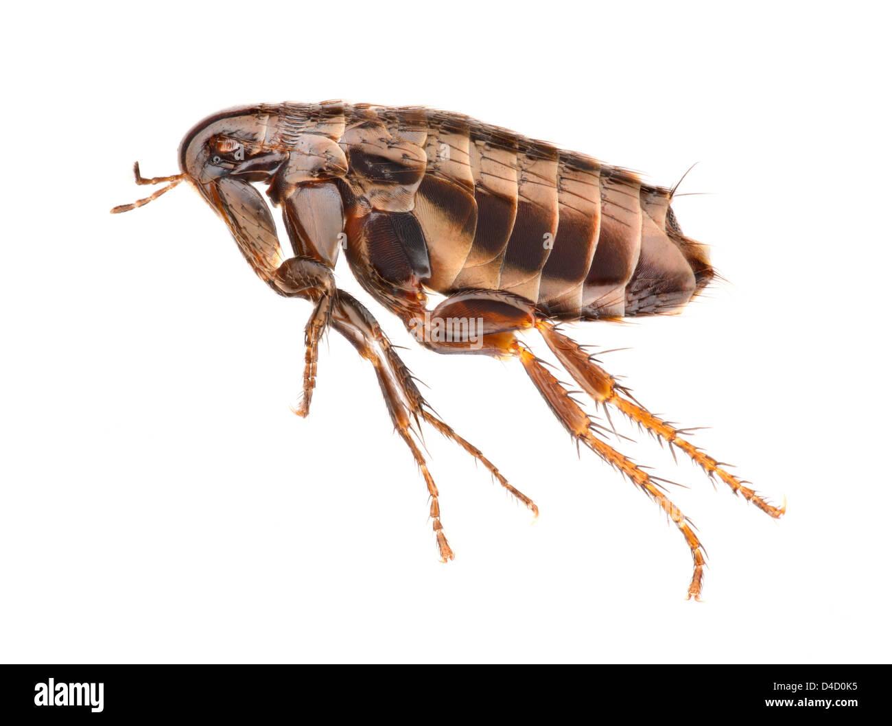 Hen flea (Ceratophyllus gallinae), extreme close-up - Stock Image
