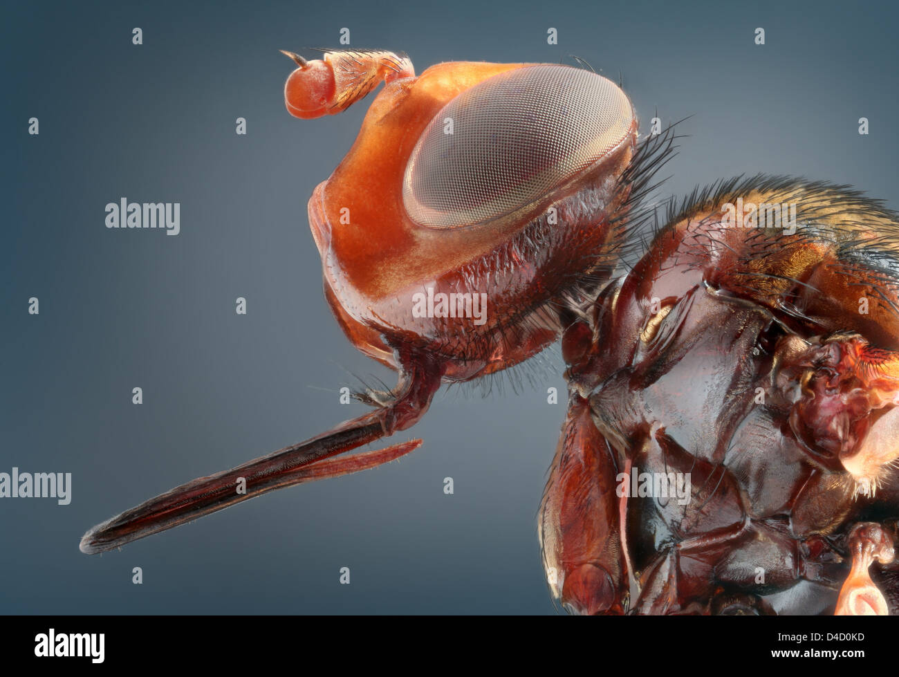 Thick-headed fly (Conopidae), extreme close-up - Stock Image