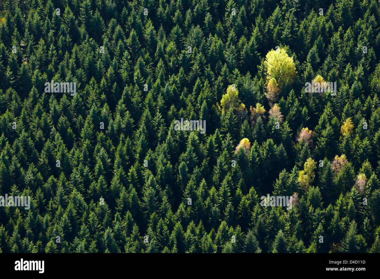 Autumnal conifer forest with some broadleaf trees, aerial photo - Stock Image