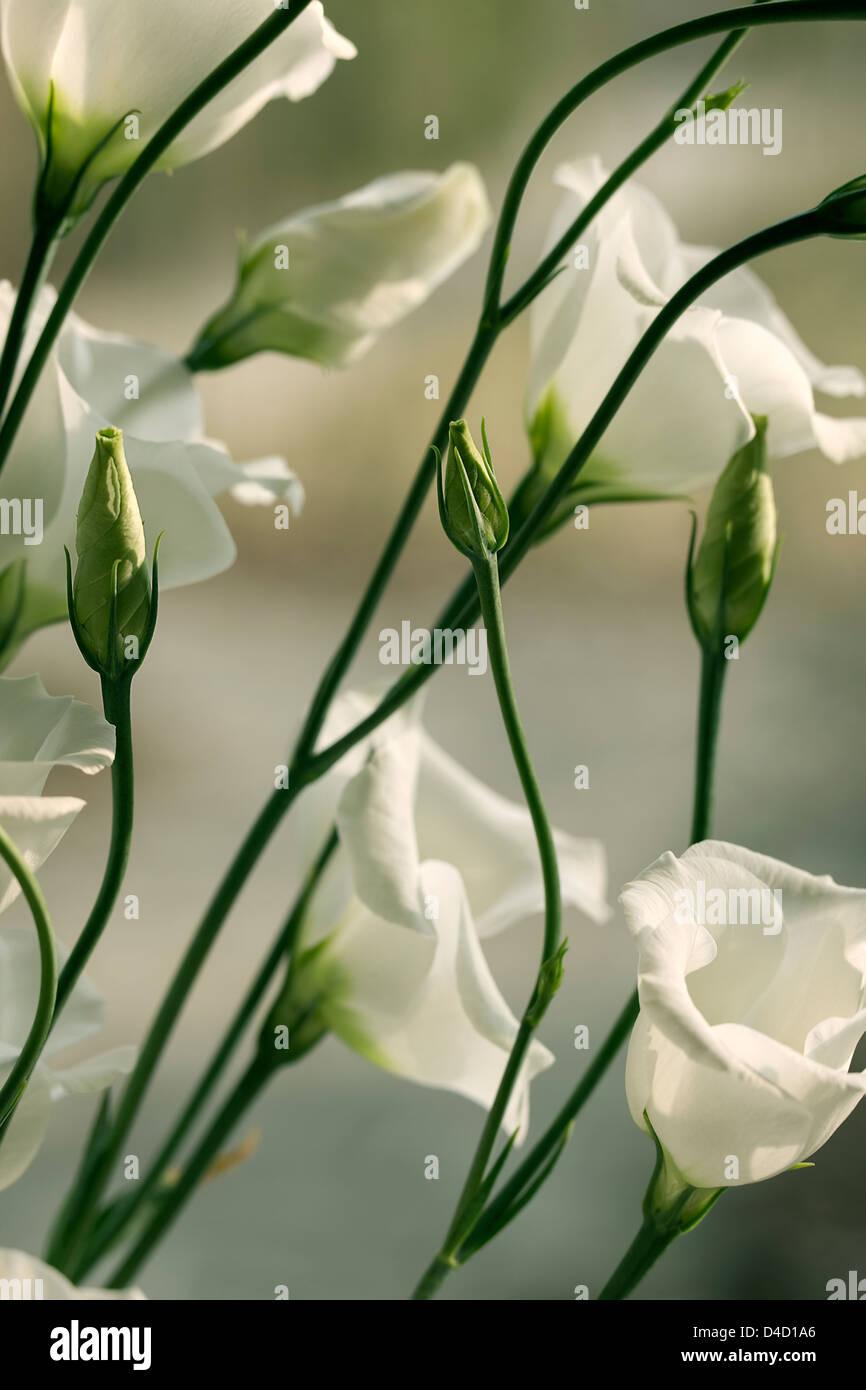 Lisianthus Eustoma grandiflorum Stock Photo