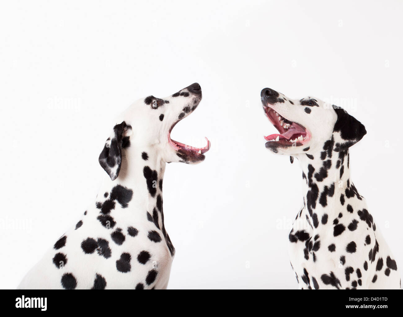 Dogs howling at each other - Stock Image