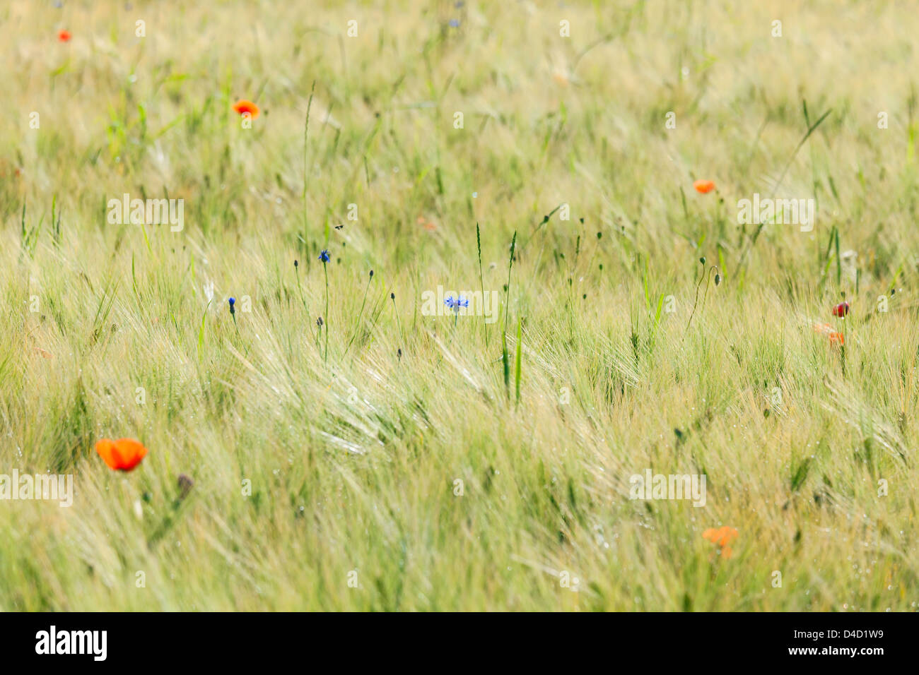 Grain field with poppies and cornflowers Stock Photo