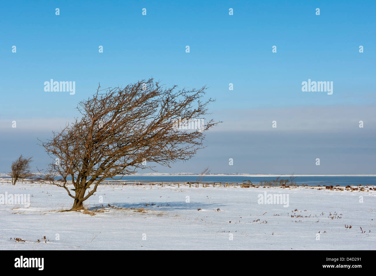 Warped tree in winter, Sylt, Germany - Stock Image