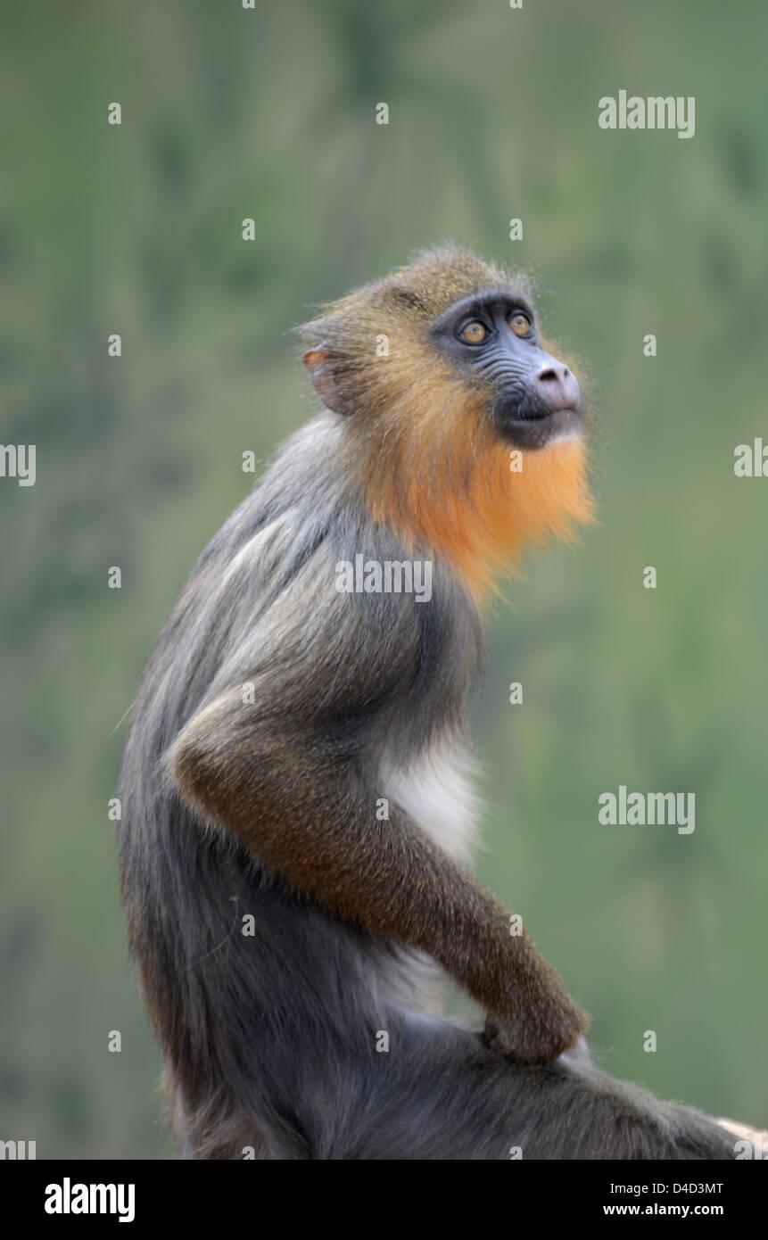 Weeper Capuchin (Cebus nigrivittatus) Stock Photo