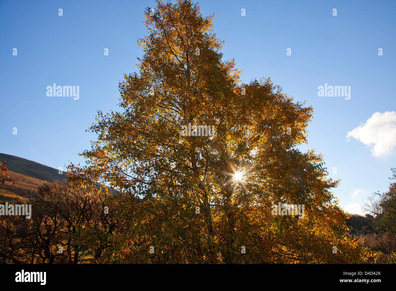 Autumn downy birch tree in Glenhest, Co Mayo, Ireland. - Stock Image