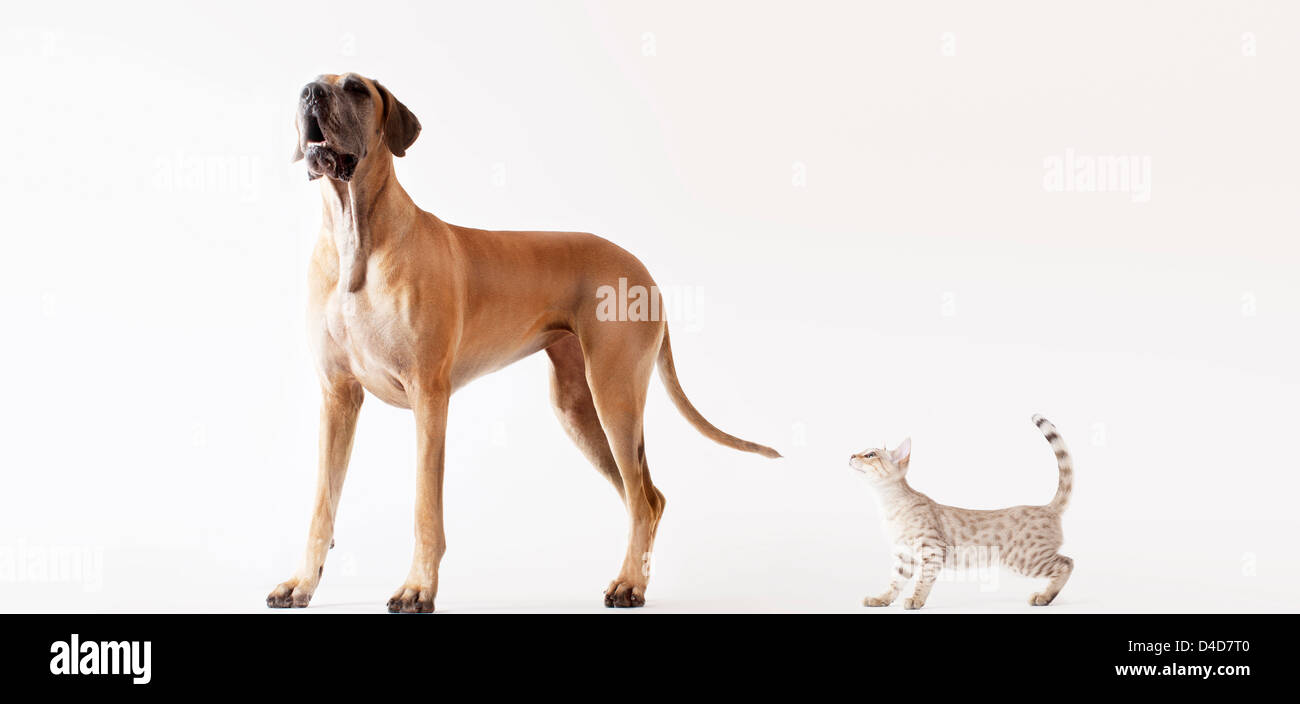 Cat sneaking up on howling dog - Stock Image