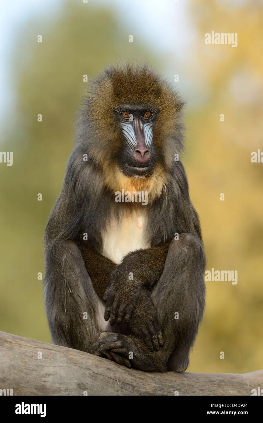 Mandrill (Mandrillus sphinx) in Augsburg Zoo, Germany - Stock Image