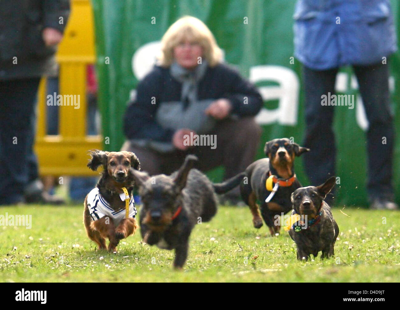 Dachshunds compete at the dachshund race in Itzehoe, Germany, 06 April 2008. A total of 86 quadrupeds entered the - Stock Image