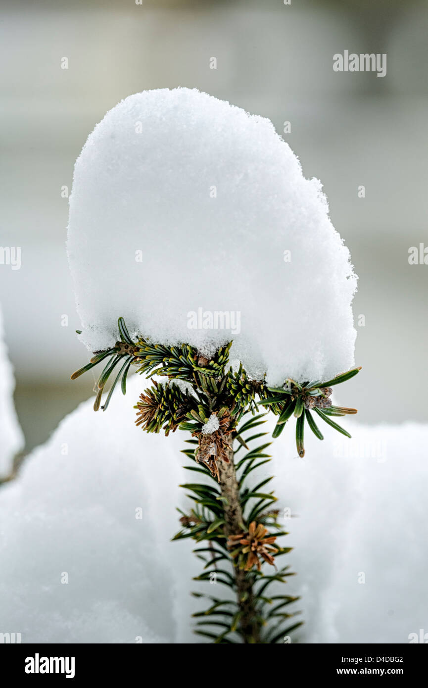 Snow resting on the top of a Norway Spruce (Christmas tree) - Stock Image