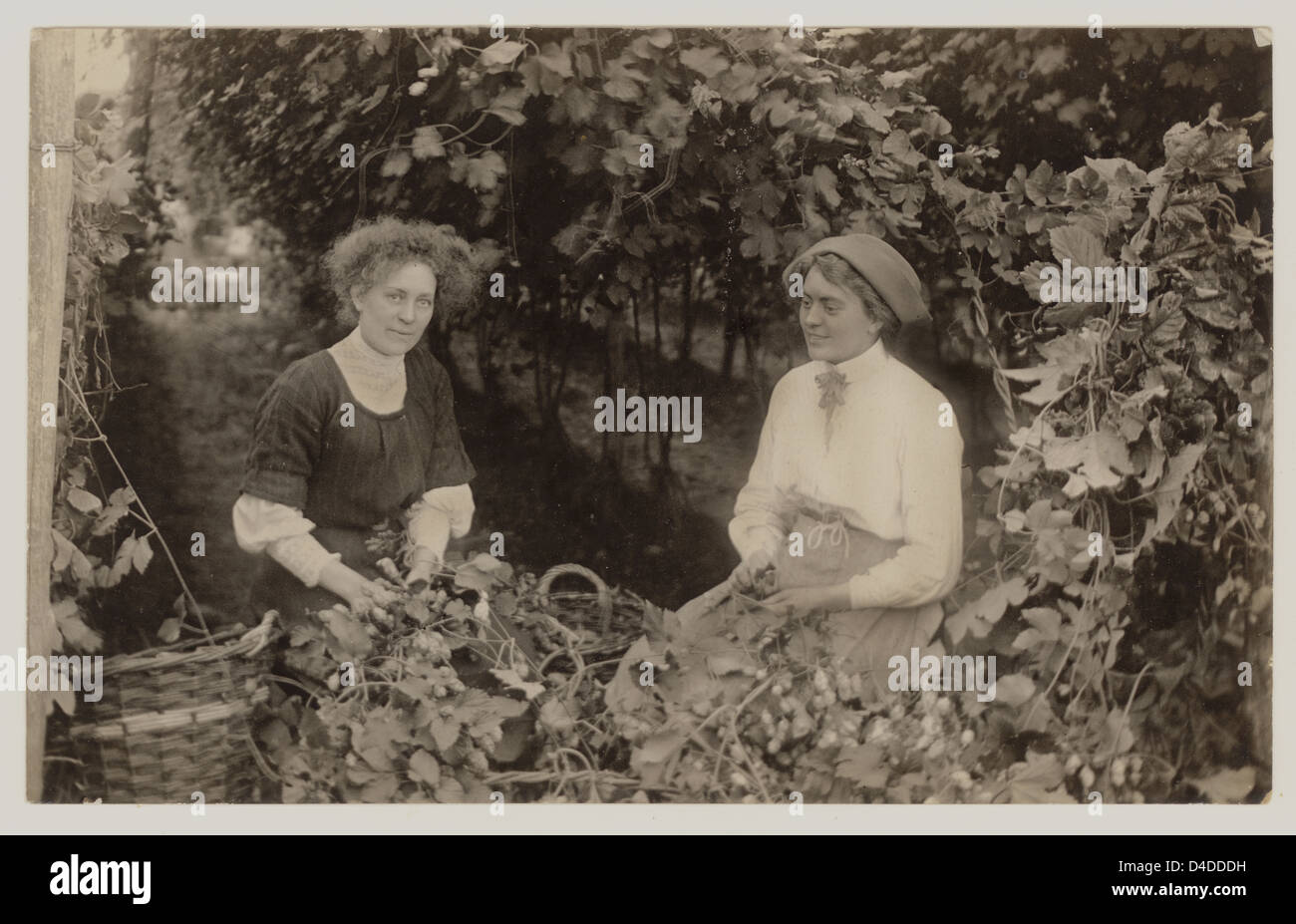 Two women hop picking, circa 1908, U.K. - Stock Image