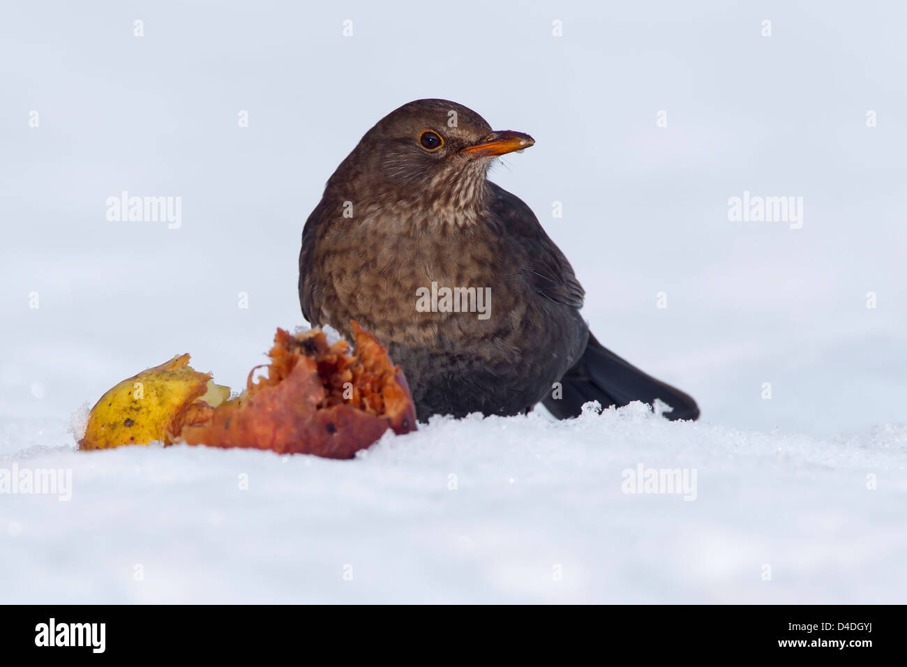 FEMALE BLACKBIRD IN SNOW WITH A ROTTEN APPLE - Stock Image
