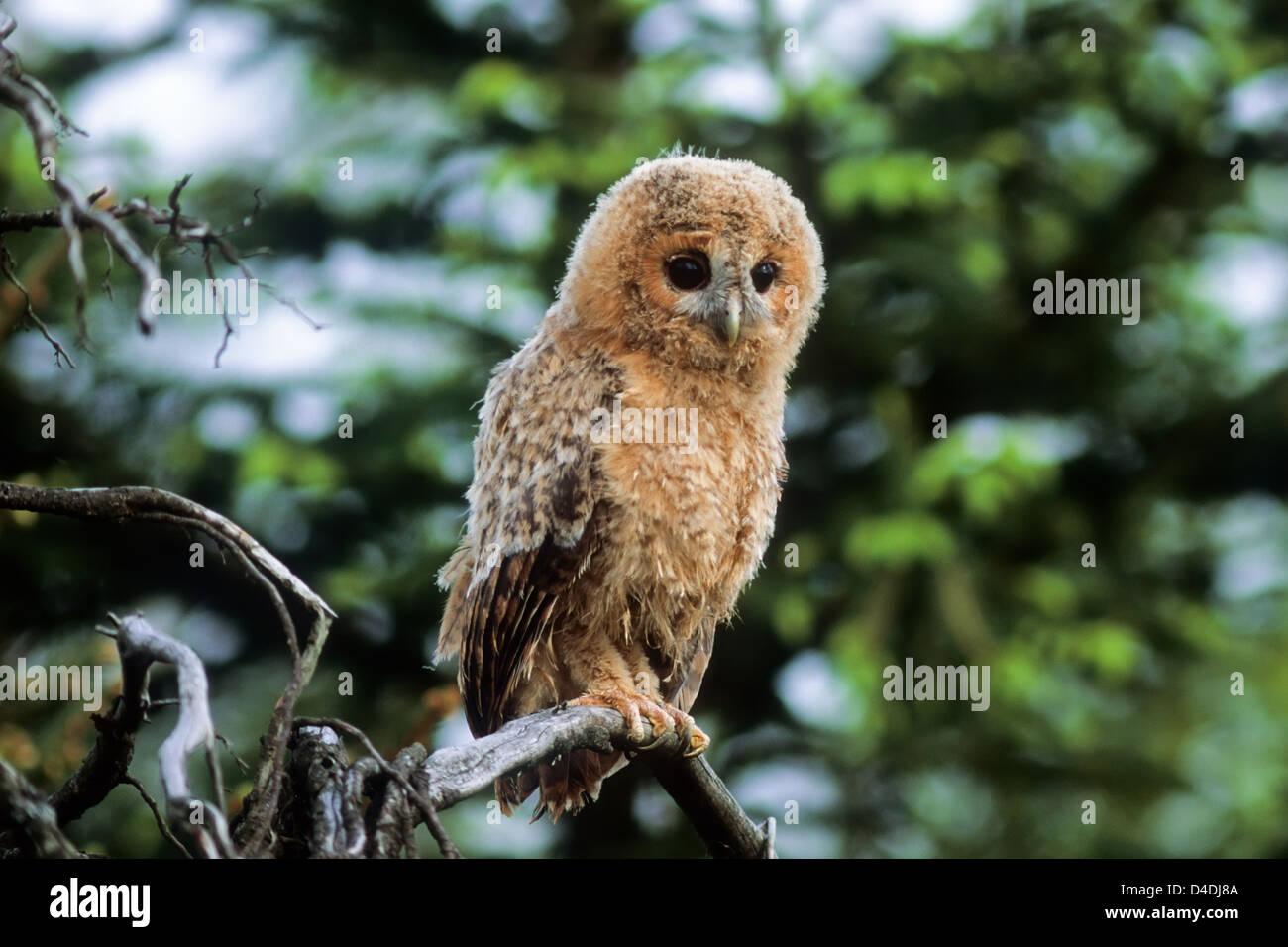 Waldkauz, Jungvogel (Strix aluco) Young Tawny Owl • Ostalbkreis, Baden-Württemberg; Deutschland, Germany Stock Photo