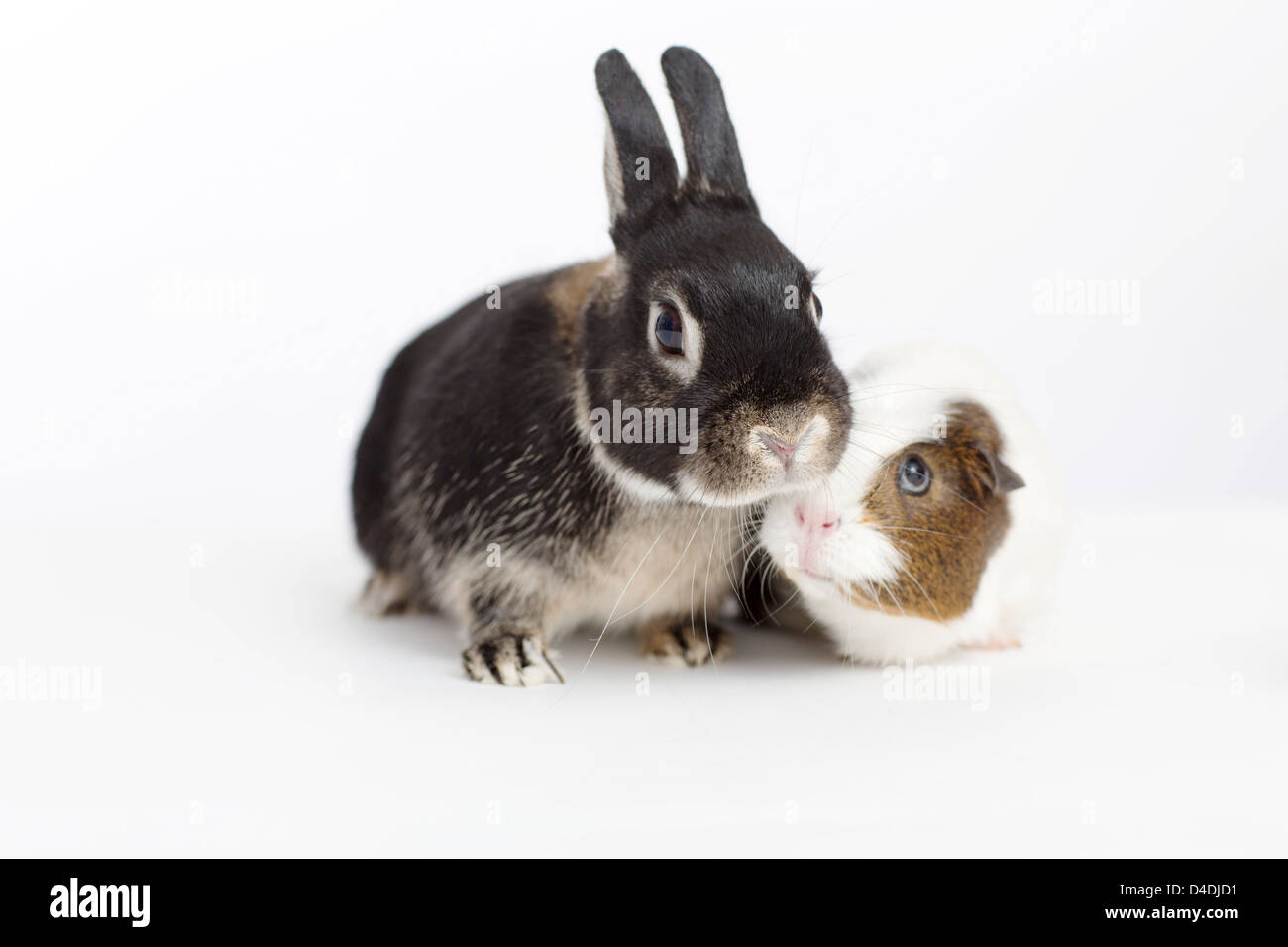 Rabbit and guinea pig meeting - Stock Image