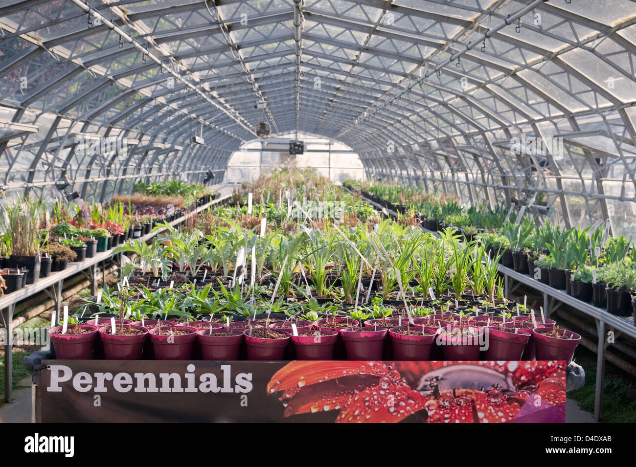 Interior of a greenhouse at a garden centre containing perennials, UK - Stock Image