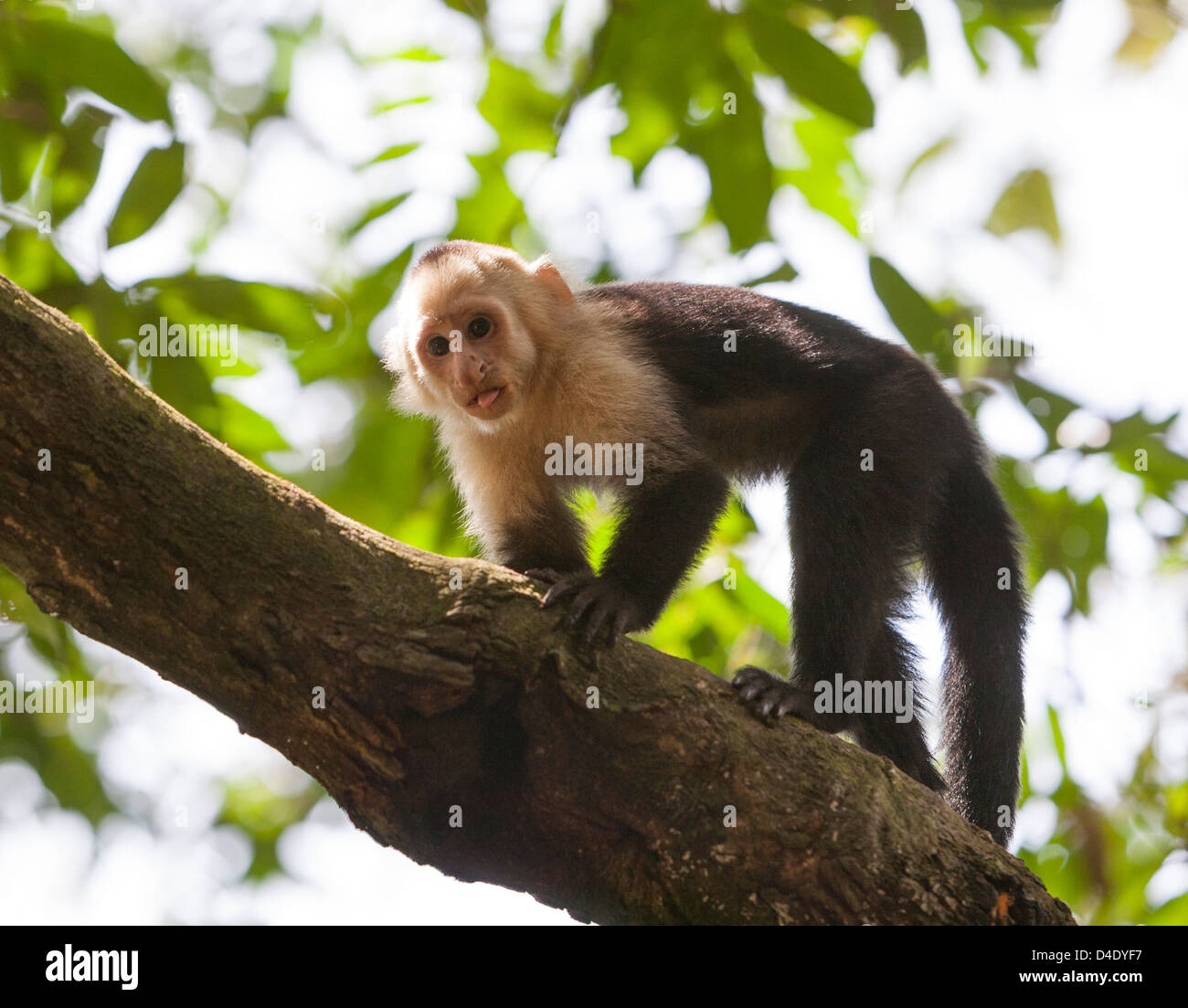White faced monkey in the Manuel Antonio area of Costa Rica - Stock Image