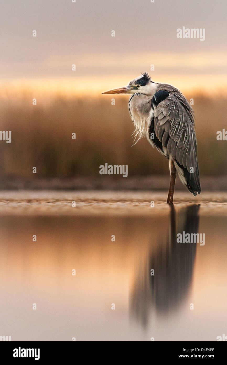 Grey heron (Ardea cinerea) standing in a marsh at dusk - Stock Image