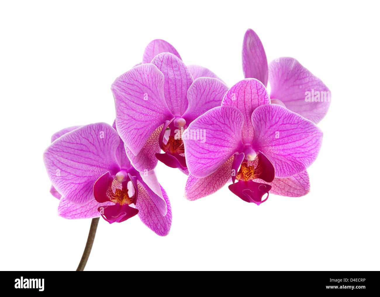 Purple orchid flower closeup isolated on white - Stock Image