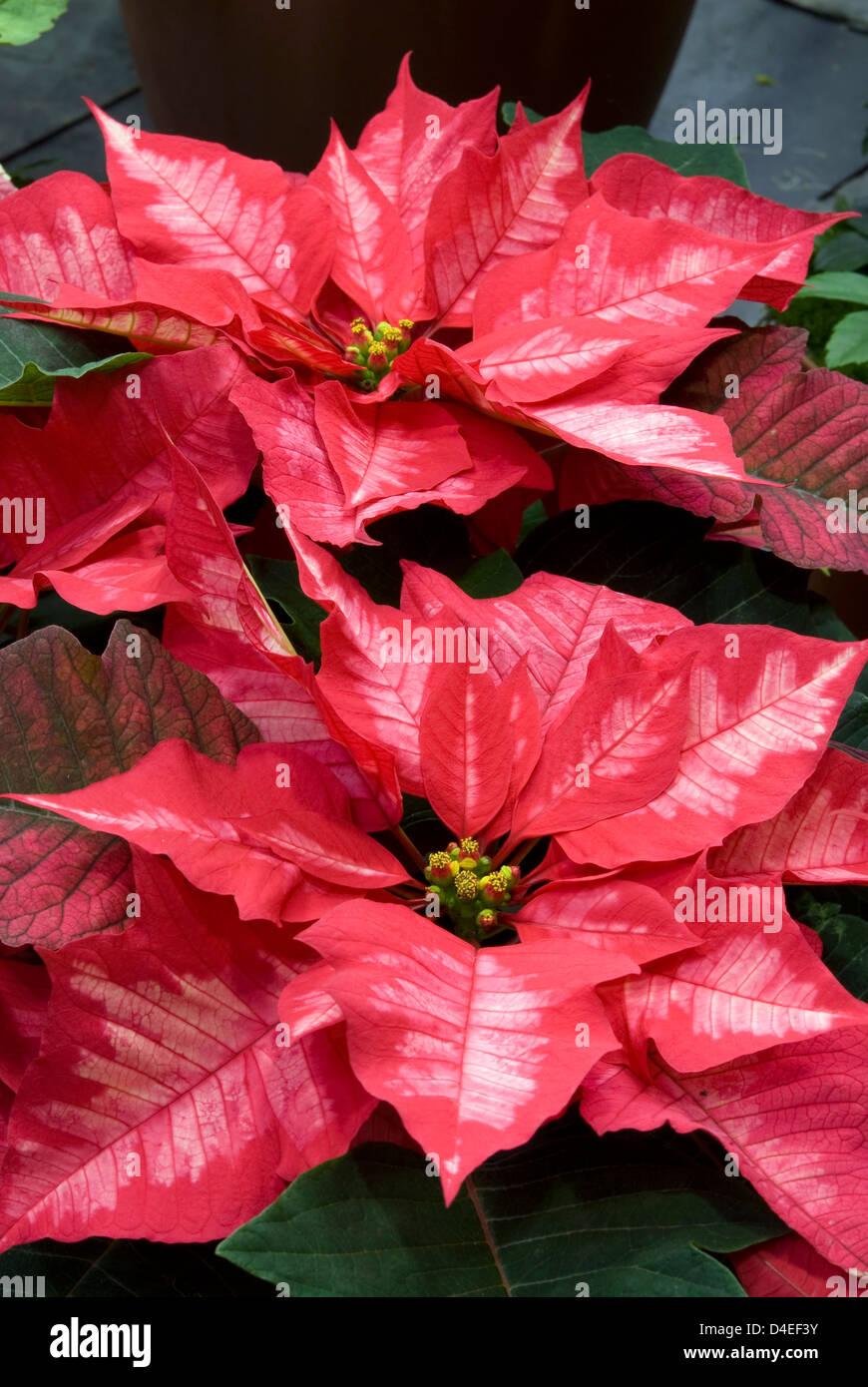 Euprbia Pulchellum Ice Punch Poinsettia Stock Photo 54408927