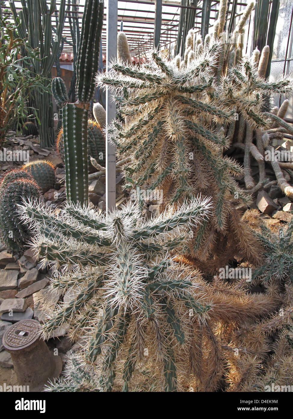 Cylindrica Opuntia. Opuntia tunicata. Stock Photo