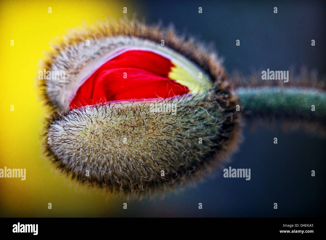 USA. Stock image of an red Iceland poppy bud, that is ready to bloom. - Stock Image